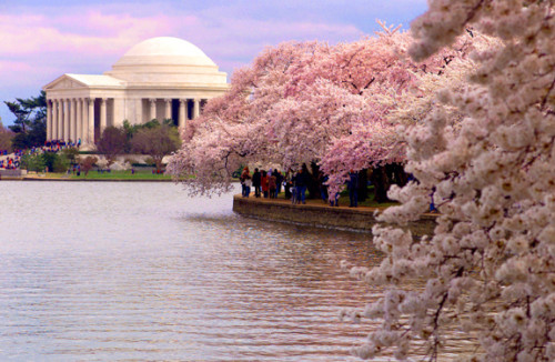 Blossoms Around the Tidal Basin